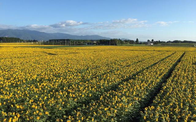 高鍋町ひまわり畑イメージ画像
